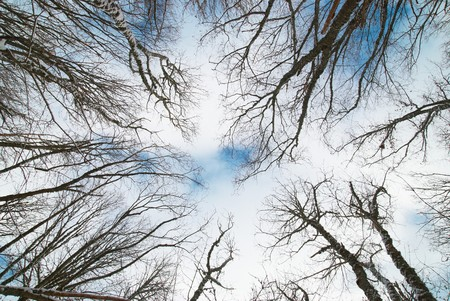 Top of winter trees with blue sky and clouds. photo
