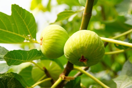 Green figs on the tree. photo