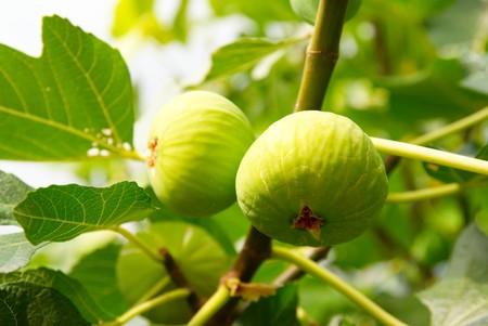 feuille de vigne: Green figues sur l'arbre.