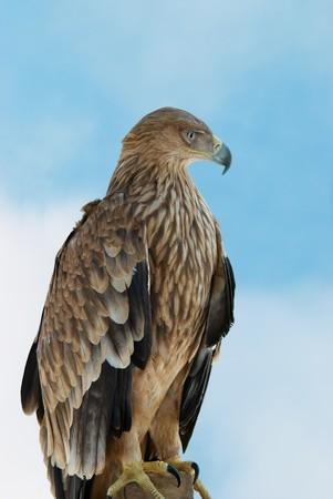 A hawk eagle on the blue sky background. photo