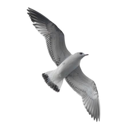 gaviota: Gaviota aisladas sobre fondo blanco.