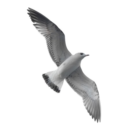 Seagull isolated on white background. Stock Photo - 4378415