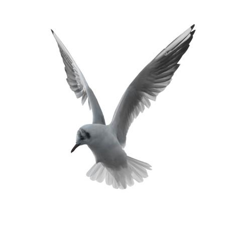 mouettes: Flying mouette isol�e sur fond blanc. Banque d'images