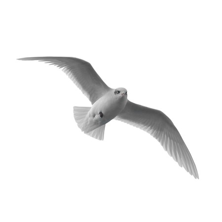 Flying seagull isolated on the white background. photo