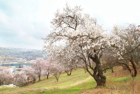 almond tree: Blooming almond tree with white- pink flowers Stock Photo
