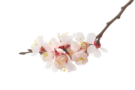 The almond tree pink flowers with branches photo