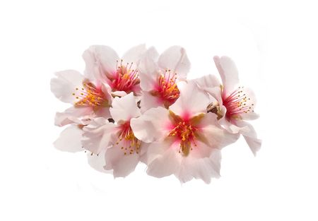 almond bud: The almond tree pink flowers with branches