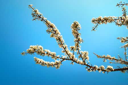 White apricot flowers with blue sky background Stock Photo - 4601501