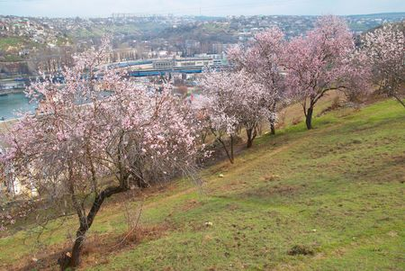 Blooming almond tree with white- pink flowers photo
