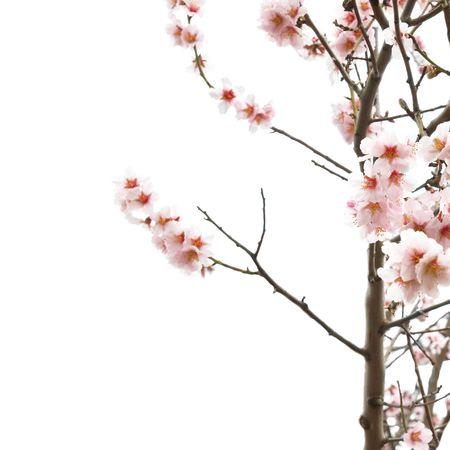 am�ndoa: A ?rvore de flores cor de rosa de am?ndoa com ramos isolado no branco