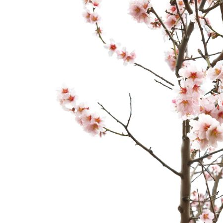 The almond tree pink flowers with branches isolated on white Stock Photo