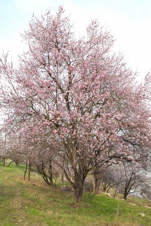 Blooming almond tree with white- pink flowers Stock Photo - 4756780