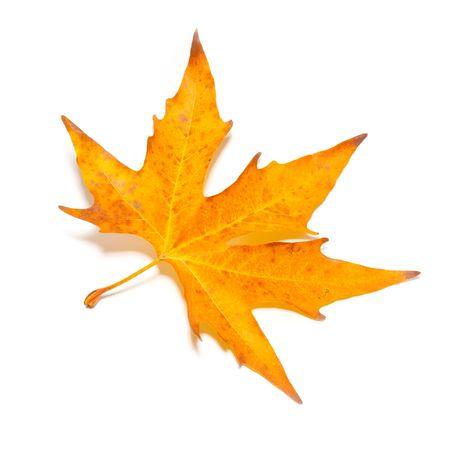 Orange fall maple leaf isolated on white. Stock Photo