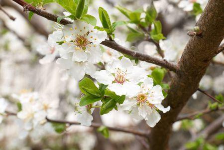Plum tree white flowers . Stock Photo - 4756983