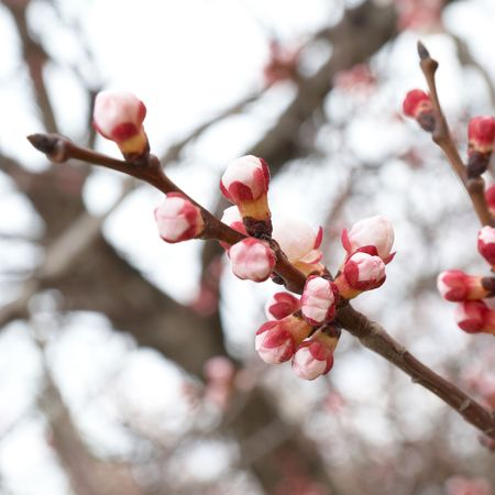 Pink buds on the almond branch tree photo