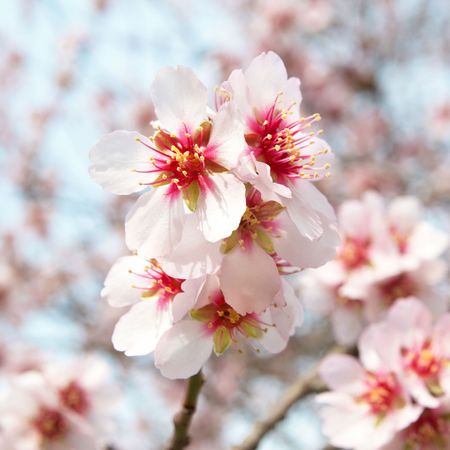 The almond tree pink flowers with branches