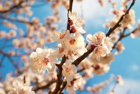 White apricot flowers with blue sky background photo