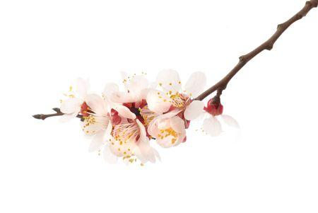 Il mandorlo fiori rosa con rami isolati su bianco Archivio Fotografico