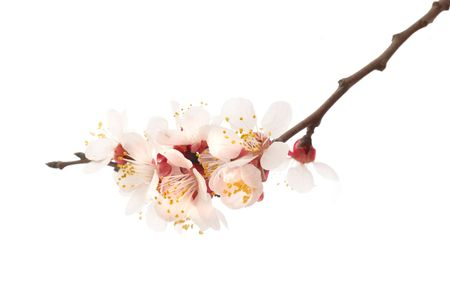 almond: The almond tree pink flowers with branches isolated on white Stock Photo