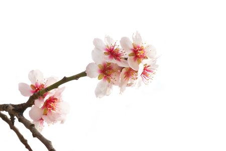 The almond tree pink flowers with branches isolated on white photo