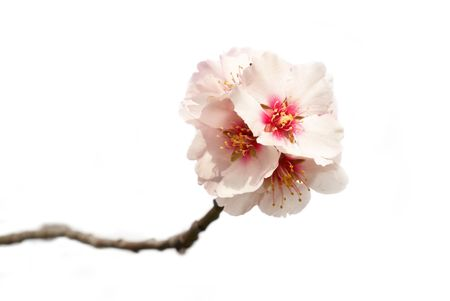 The almond tree pink flowers with branches Stock Photo - 4793503