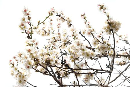 almond bud: The almond tree pink flowers with branches isolated on white.