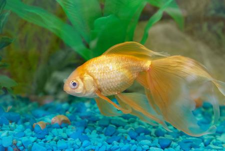Tropical golden fish in aquarium. Stock Photo - 4827884