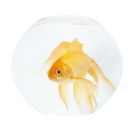 A golden fish in aquarium isolated on white. Stock Photo - 4908271