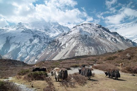 Tibetan landscape with yaks and snow-covered mountains. photo
