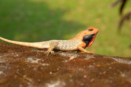 Orange-headed agama on the soft green grass background. photo
