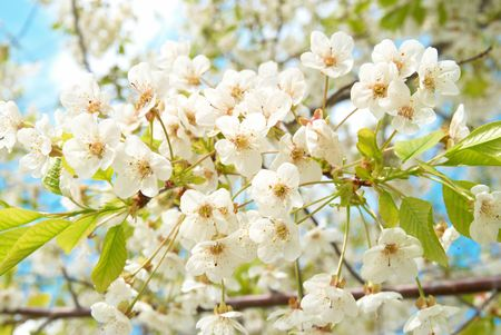 White cherry flowers with blue sky background photo