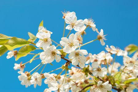 japanese apricot flower: White cherry flowers with blue sky background