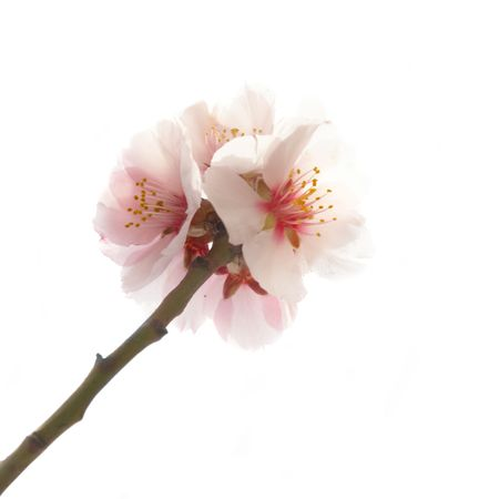 early blossoms: The almond tree pink flowers with branches isolated on white Stock Photo