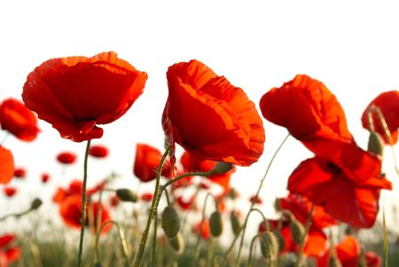 poppy leaf: Field of beautiful red poppies isolated on white