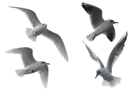 seagull: Four different seagulls isolated on white background. Stock Photo