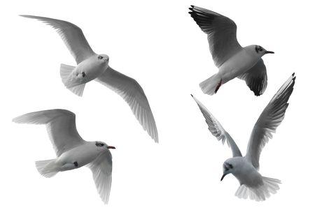 vol d oiseaux: Quatre mouettes diff�rentes isol�es sur fond blanc.
