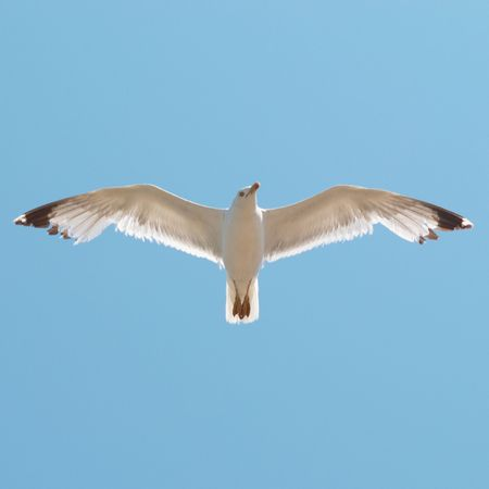 Flying seagull on the blue sky background. photo