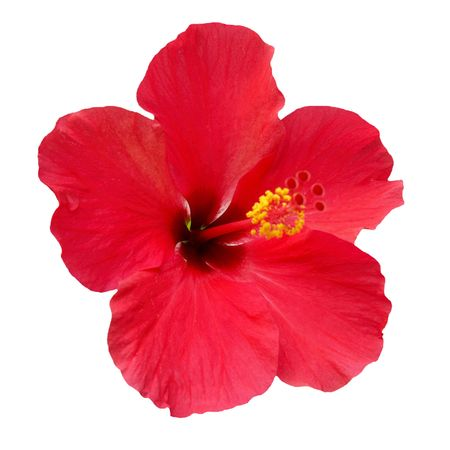 Red flower- Hibiscus rosa sinensis, isolated on white Stock Photo