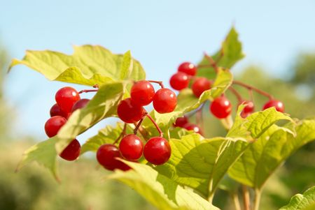 Bunches of red snowball tree berryes (Viburnum opulus) photo
