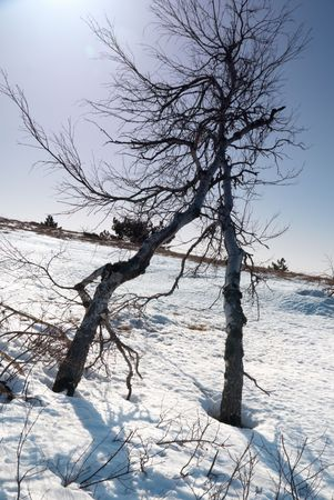 Trees under snow with sunshine. photo