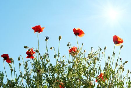 Beautiful red poppies with sun and blue sky photo