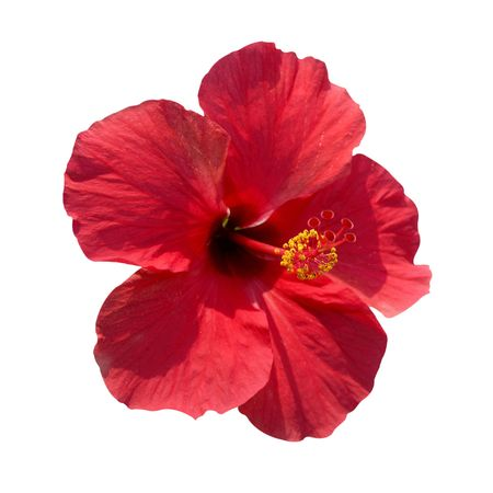 sinensis: Red flower- Hibiscus rosa sinensis, soft background Stock Photo