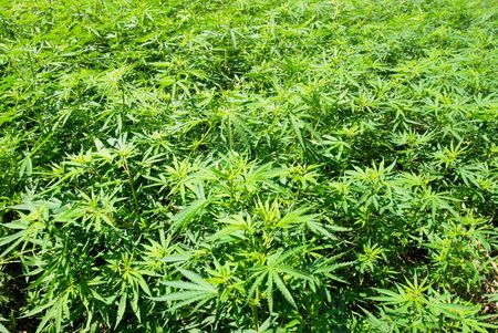 marijuana plant: Field of green marijuana (hemp) can be used for background. Stock Photo
