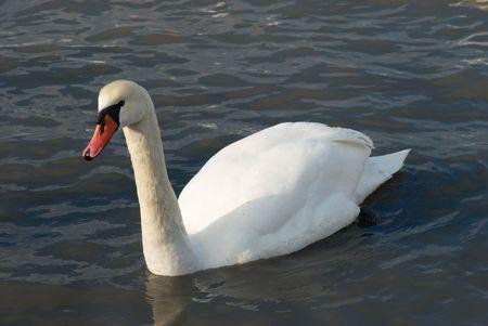 Beautiful white swan on the water. photo