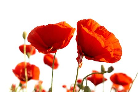 Beautiful red poppies isolated on white background Stock Photo - 6520130