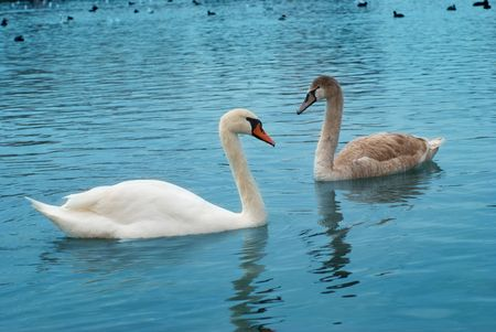 Two swans on the lake with blue water background photo