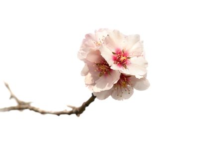 Almond tree pink flowers isolated on white. photo