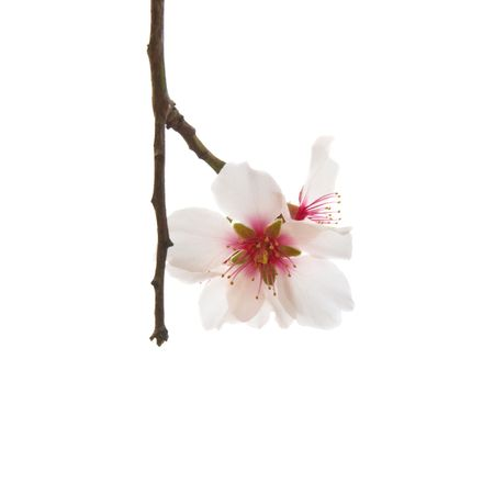 Almond tree pink flowers isolated on white. Stock Photo - 6690762
