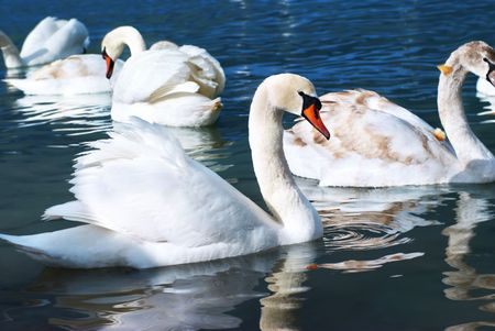 Swans on the lake with blue water background photo