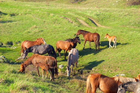 Herd of horses on the field with green grass photo